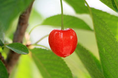 Cherry. Healthy cherry tree branches from the image Stock Photography