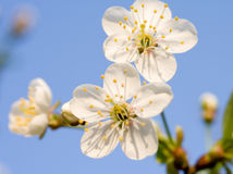 Cherry. Branch to flowering cherry on background blue sky Stock Images