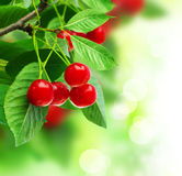 Cherry. Beautiful Fresh Cherries on branch.Selective focus royalty free stock image