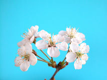 Cherry. Flowers on blue Royalty Free Stock Photos