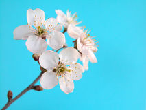 Cherry. Flowers on blue Royalty Free Stock Images