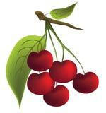 Cherry. Arkivbilder