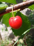 Cherry. Single red cherry hanging from tree Stock Images