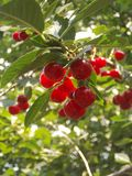 Cherry. On the background of the village Royalty Free Stock Images
