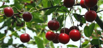 Cherry. Cherrieso on a tree with green background Stock Images