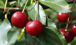 Cherry 2. Cherries on a tree with green background royalty free stock images