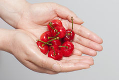 Cherry. A pile of cherry fruit in hand Stock Images