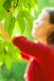 Cherry. Young cute cacausian woman picking up cherry fruit from blossoming tree Royalty Free Stock Image