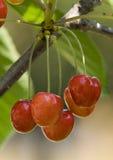 Cherry 3 Stock Photo