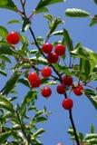 Cherry 3 Fotografering för Bildbyråer