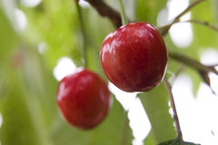 Cherry. Delicious cherry - nature, sweet cherry food fruit health nature red spring sweet tree village Stock Image
