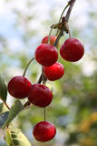 Cherry. Cherries on blue sky background royalty free stock photo