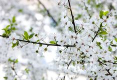 Cherry. Branches with white flowers of  cherry Stock Photos