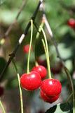 Cherry. Tree Royalty Free Stock Images
