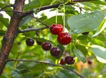 Free Cherry Stock Photo - 94873850