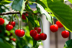 Cherry. This is a closeup shot of re cherry on the tree Stock Image