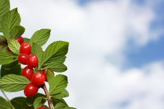 Cherry. Prunus tomentosa. Branch a cherry on a background of the sky Stock Image