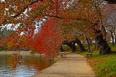 Cherry alley trees near Tidal Basin in Washington DC, USA. Royalty Free Stock Photo