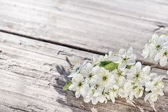 Cherry, aple, plum tree flowers on rustic white wooden surface. At suuny day Royalty Free Stock Image