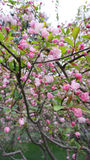 Cherry-apple tree. The Chinese flowering crabapple in the park Royalty Free Stock Photography