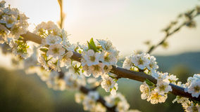 Cherry in the background of sunset. At spring Stock Image