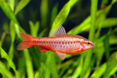 Cherry barb. Fish (Puntius titteya) in the planted aquarium royalty free stock photography