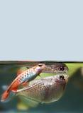 Cherry barb flying fish Gasteropelecus sternicla freshwater aquarium tank landscape. Shallow depth field selective focus Royalty Free Stock Image