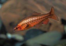 Cherry Barb masculin dans un aquarium Photo stock