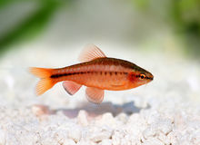 Cherry barb , Puntius titteya freshwater aquarium fish. Barbus titteya Stock Images