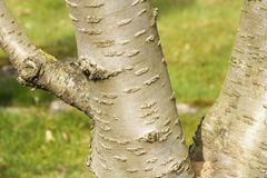 Cherry bark prunus serrulata Royalty Free Stock Photo