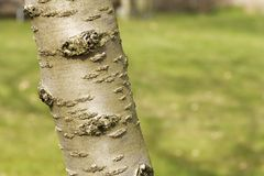 Cherry bark prunus serrulata Royalty Free Stock Photography