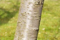 Cherry bark prunus serrulata Royalty Free Stock Photos