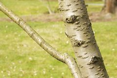 Cherry bark prunus serrulata Royalty Free Stock Image