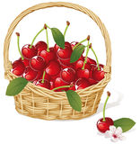 Cherry basket Royalty Free Stock Image