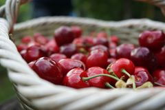 Cherry basket royalty free stock photography