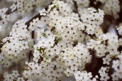 Cherry. Beautiful cherry. Spring. Macro photo Stock Photo