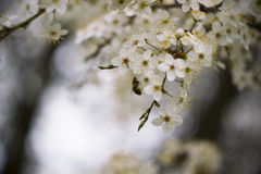 Cherry. Beautiful cherry. Spring. Macro photo Royalty Free Stock Photos