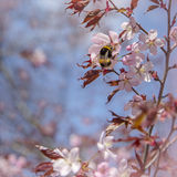 Cherry Bee. Bee collecting pollen from finnish cherry blossom Stock Photography