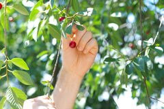 Cherry Berries on Cherry-Tree Stock Photo