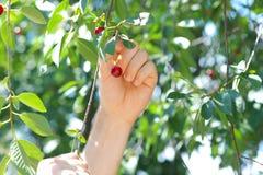 Cherry Berries på Körsbär-träd Arkivfoto