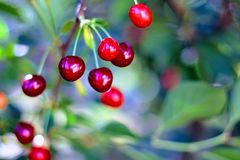 Cherry, Berry, Fruit, Close Up royalty free stock images