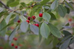 Cherry cherry berry fruit nature royalty free stock photography