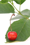 Cherry berry. Red cherry berry with leaves on white background Royalty Free Stock Image