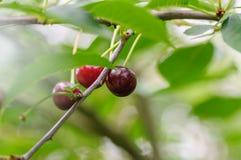 Cherry Berry si sviluppa su un ramo di albero Fotografia Stock Libera da Diritti