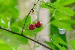 Cherry Berry si sviluppa su un ramo di albero Fotografia Stock