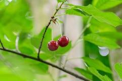 Cherry Berry si sviluppa su un ramo di albero Immagine Stock