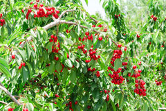 Cherry berry sunny orchard garden tree Stock Image