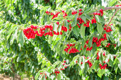Cherry berry tree in orchard Stock Photo