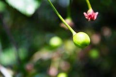 Cherry Berry vert Cerises sur l'arbre photographie stock libre de droits