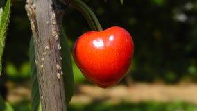 Cherry, Bing, Sweet Cherry, Red Stock Image